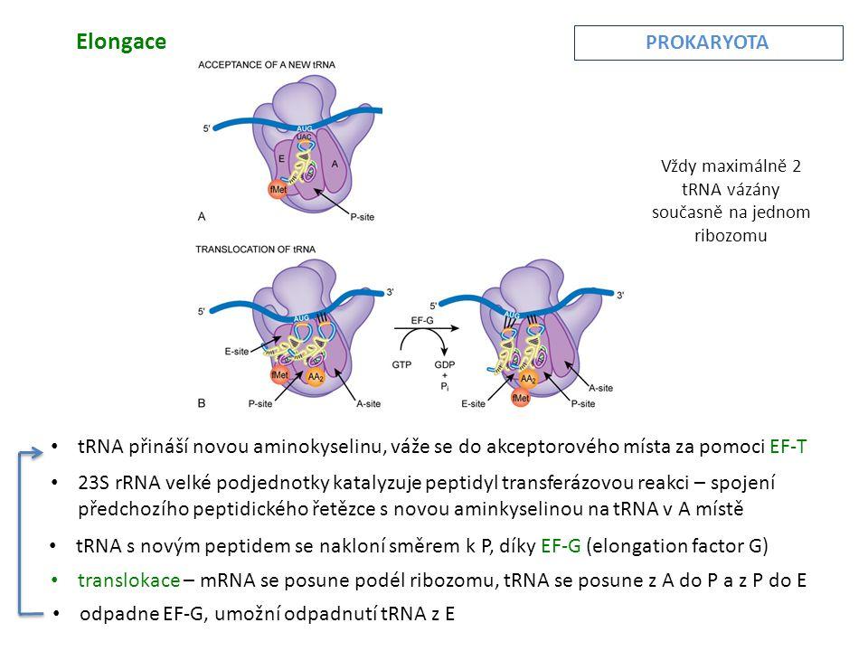 Elongace • 23S rRNA velké podjednotky katalyzuje peptidyl transferázovou reakci – spojení předchozího peptidického řetězce s novou aminkyselinou na tRNA v A místě • tRNA přináší novou aminokyselinu, váže se do akceptorového místa za pomoci EF-T • tRNA s novým peptidem se nakloní směrem k P, díky EF-G (elongation factor G) • translokace – mRNA se posune podél ribozomu, tRNA se posune z A do P a z P do E • odpadne EF-G, umožní odpadnutí tRNA z E PROKARYOTA Vždy maximálně 2 tRNA vázány současně na jednom ribozomu