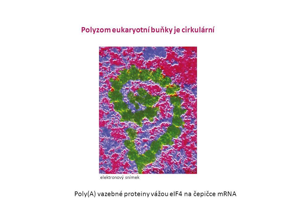 Polyzom eukaryotní buňky je cirkulární Poly(A) vazebné proteiny vážou eIF4 na čepičce mRNA elektronový snímek