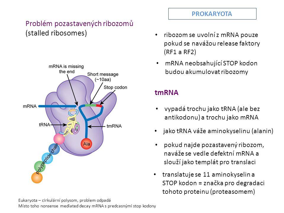 Problém pozastavených ribozomů (stalled ribosomes) • mRNA neobsahující STOP kodon budou akumulovat ribozomy • ribozom se uvolní z mRNA pouze pokud se navážou release faktory (RF1 a RF2) tmRNA • vypadá trochu jako tRNA (ale bez antikodonu) a trochu jako mRNA • jako tRNA váže aminokyselinu (alanin) • pokud najde pozastavený ribozom, naváže se vedle defektní mRNA a slouží jako templát pro translaci • translatuje se 11 aminokyselin a STOP kodon = značka pro degradaci tohoto proteinu (proteasomem) Eukaryota – cirkulární polysom, problem odpadá Místo toho nonsense mediated decay mRNA s predcasnými stop kodony PROKARYOTA