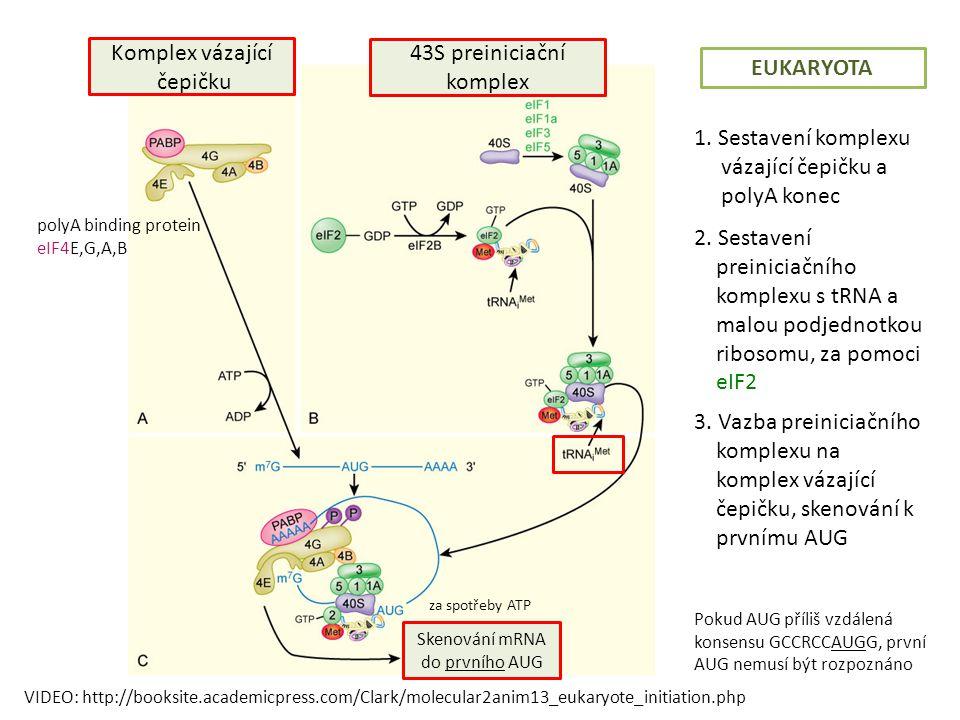 polyA binding protein eIF4E,G,A,B Komplex vázající čepičku 43S preiniciační komplex Skenování mRNA do prvního AUG za spotřeby ATP Pokud AUG příliš vzdálená konsensu GCCRCCAUGG, první AUG nemusí být rozpoznáno EUKARYOTA VIDEO: http://booksite.academicpress.com/Clark/molecular2anim13_eukaryote_initiation.php •Figure 13.29 •Assembly of the Eukaryotic Initiation Complex •A) The cap-binding complex includes poly(A)-binding protein (PABP), eIF4A, eIF4B, eIF4E, and eIF4G, which is in an unphosphorylated state when unbound to mRNA.