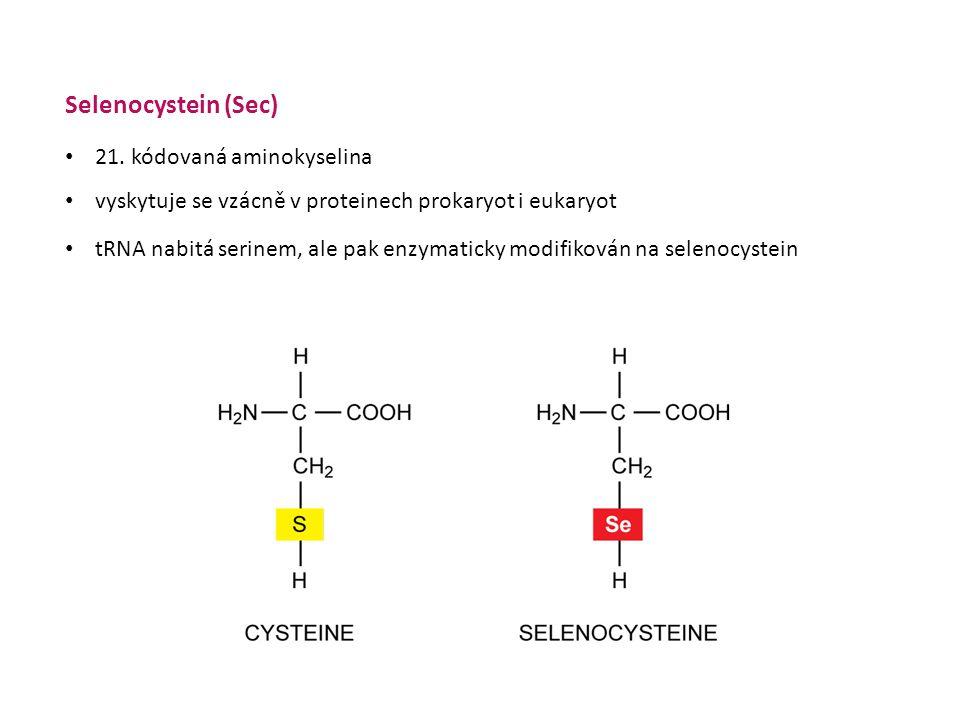 Selenocystein (Sec) • vyskytuje se vzácně v proteinech prokaryot i eukaryot • tRNA nabitá serinem, ale pak enzymaticky modifikován na selenocystein serin selenocystein • 21.