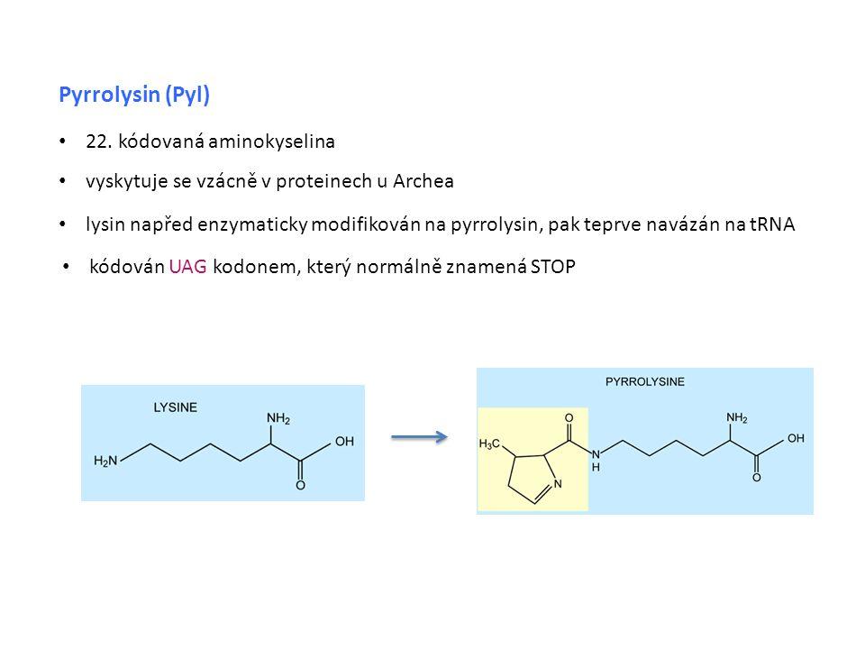 Pyrrolysin (Pyl) • vyskytuje se vzácně v proteinech u Archea • lysin napřed enzymaticky modifikován na pyrrolysin, pak teprve navázán na tRNA • 22.