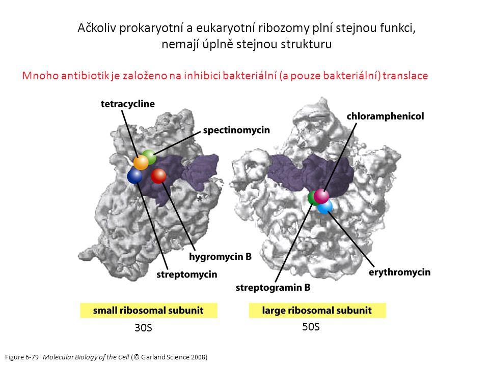 Figure 6-79 Molecular Biology of the Cell (© Garland Science 2008) Mnoho antibiotik je založeno na inhibici bakteriální (a pouze bakteriální) translace Ačkoliv prokaryotní a eukaryotní ribozomy plní stejnou funkci, nemají úplně stejnou strukturu 30S 50S
