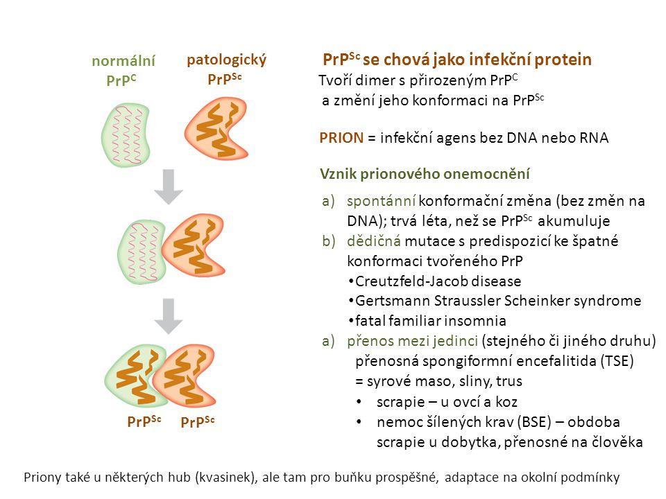 PrP Sc se chová jako infekční protein Tvoří dimer s přirozeným PrP C a změní jeho konformaci na PrP Sc PrP Sc patologický PrP Sc normální PrP C PRION = infekční agens bez DNA nebo RNA a)spontánní konformační změna (bez změn na DNA); trvá léta, než se PrP Sc akumuluje b)dědičná mutace s predispozicí ke špatné konformaci tvořeného PrP • Creutzfeld-Jacob disease • Gertsmann Straussler Scheinker syndrome • fatal familiar insomnia a)přenos mezi jedinci (stejného či jiného druhu) přenosná spongiformní encefalitida (TSE) = syrové maso, sliny, trus • scrapie – u ovcí a koz • nemoc šílených krav (BSE) – obdoba scrapie u dobytka, přenosné na člověka Vznik prionového onemocnění Priony také u některých hub (kvasinek), ale tam pro buňku prospěšné, adaptace na okolní podmínky
