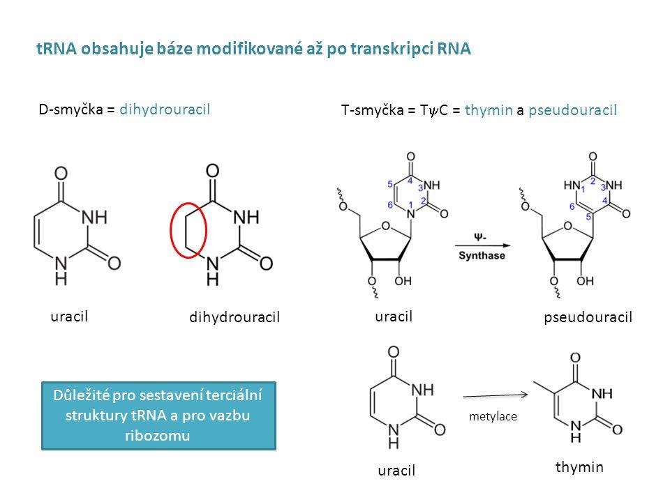 D-smyčka = dihydrouracil T-smyčka = T  C = thymin a pseudouracil tRNA obsahuje báze modifikované až po transkripci RNA dihydrouracil uracil pseudouracil metylace thymin Důležité pro sestavení terciální struktury tRNA a pro vazbu ribozomu uracil
