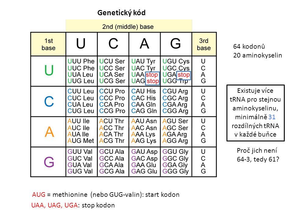 Genetický kód 64 kodonů 20 aminokyselin AUG = methionine (nebo GUG-valin): start kodon UAA, UAG, UGA: stop kodon Existuje více tRNA pro stejnou aminokyselinu, minimálně 31 rozdílných tRNA v každé buňce Proč jich není 64-3, tedy 61?