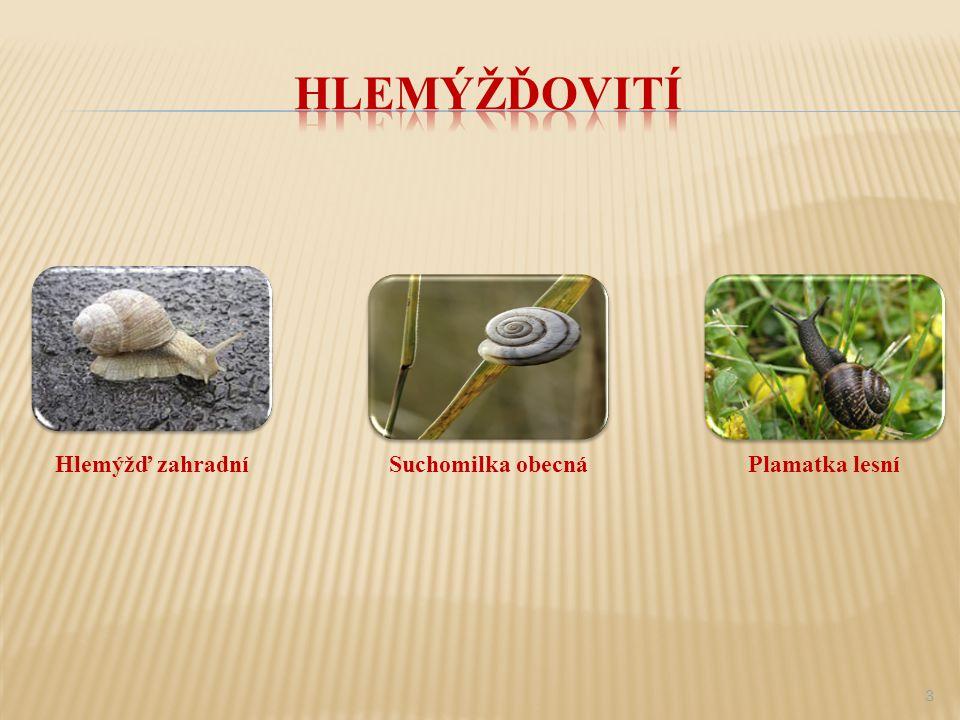  Říše: živočichové  Kmen: měkkýši  Třída: plži ( plicnatí, stopkoocí)  Čeleď: hlemýžďovití  Rod: hlemýžď 2