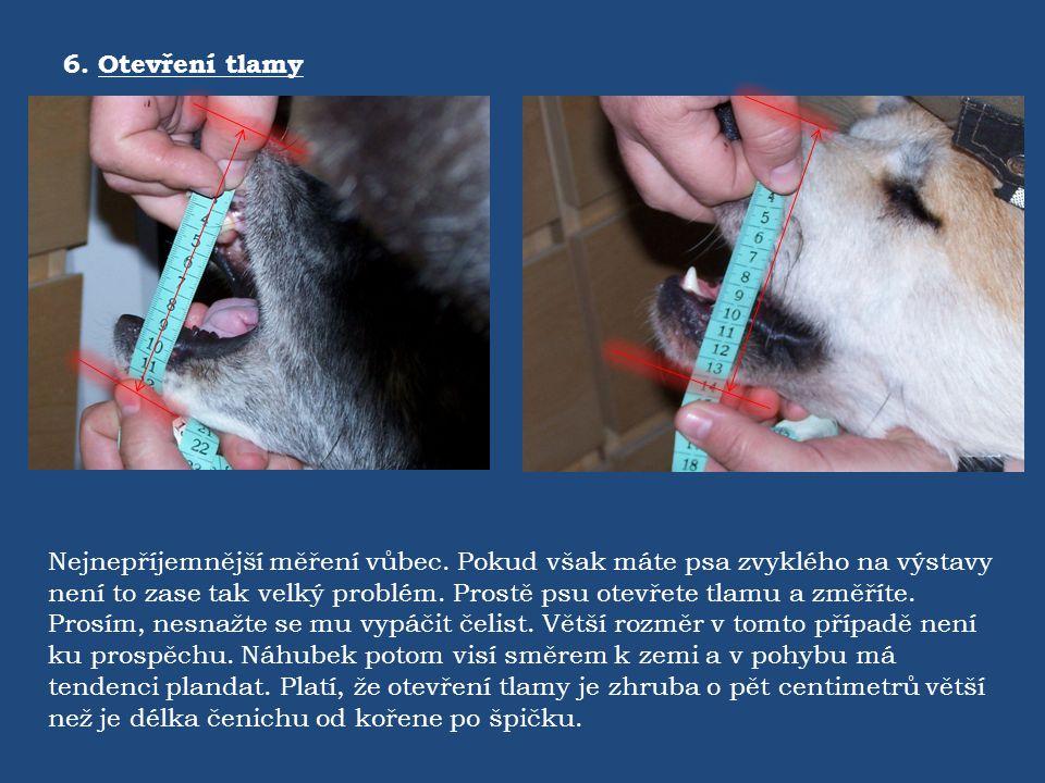 6. Otevření tlamy Nejnepříjemnější měření vůbec. Pokud však máte psa zvyklého na výstavy není to zase tak velký problém. Prostě psu otevřete tlamu a z