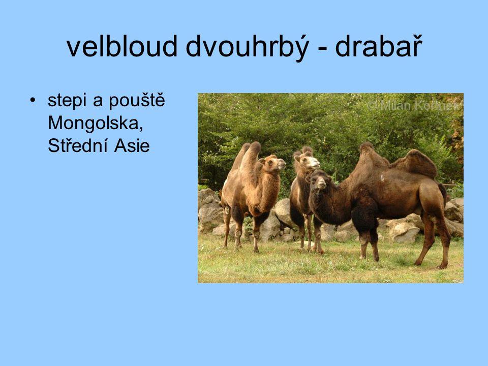 velbloud dvouhrbý - drabař •stepi a pouště Mongolska, Střední Asie
