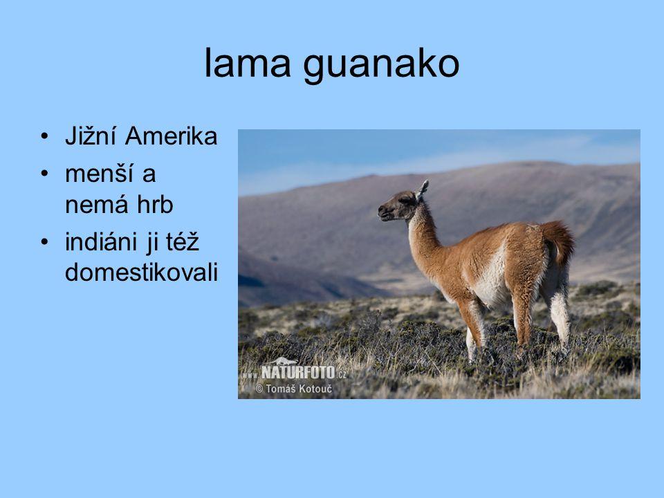 lama guanako •Jižní Amerika •menší a nemá hrb •indiáni ji též domestikovali