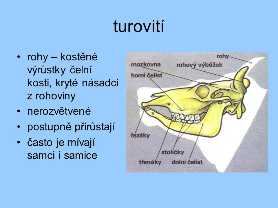turovití •rohy – kostěné výrůstky čelní kosti, kryté násadci z rohoviny •nerozvětvené •postupně přirůstají •často je mívají samci i samice