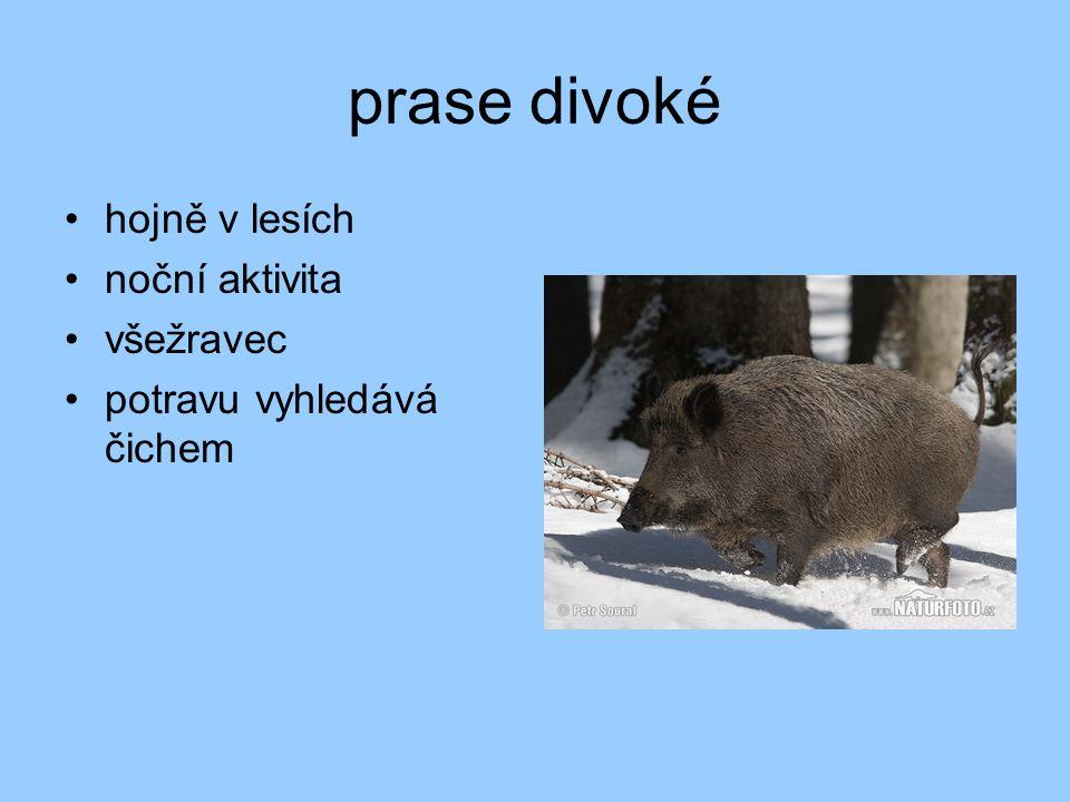 buvol indický