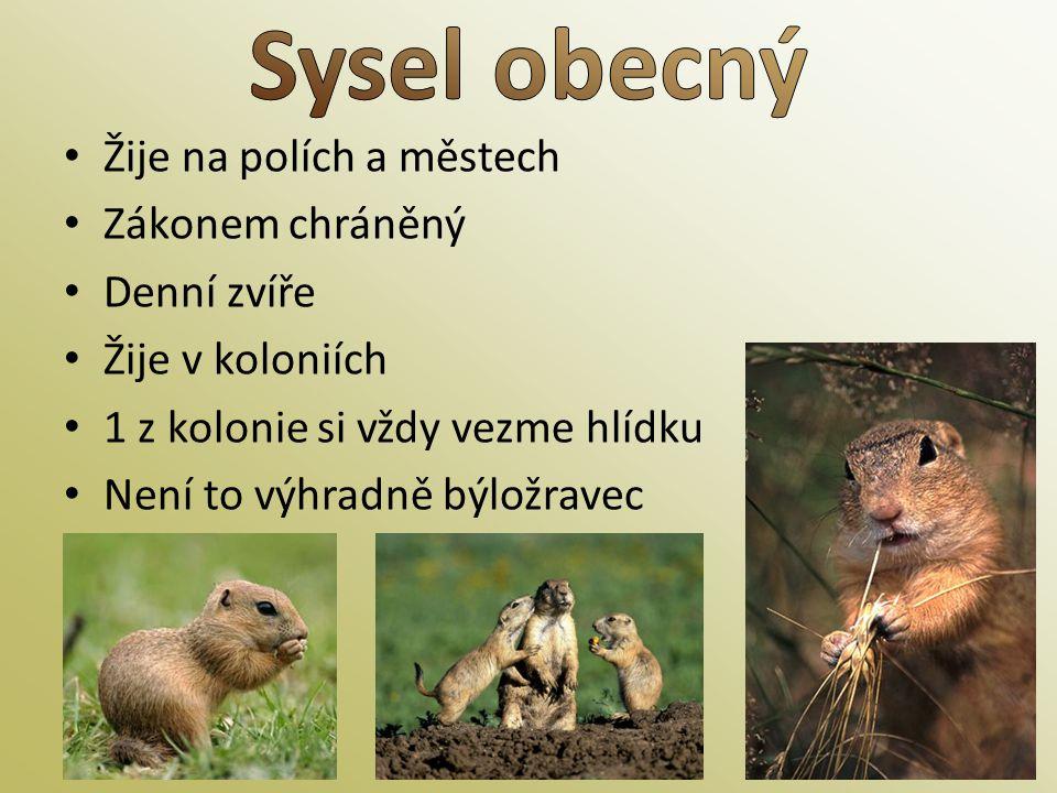 • Žije na polích a městech • Zákonem chráněný • Denní zvíře • Žije v koloniích • 1 z kolonie si vždy vezme hlídku • Není to výhradně býložravec