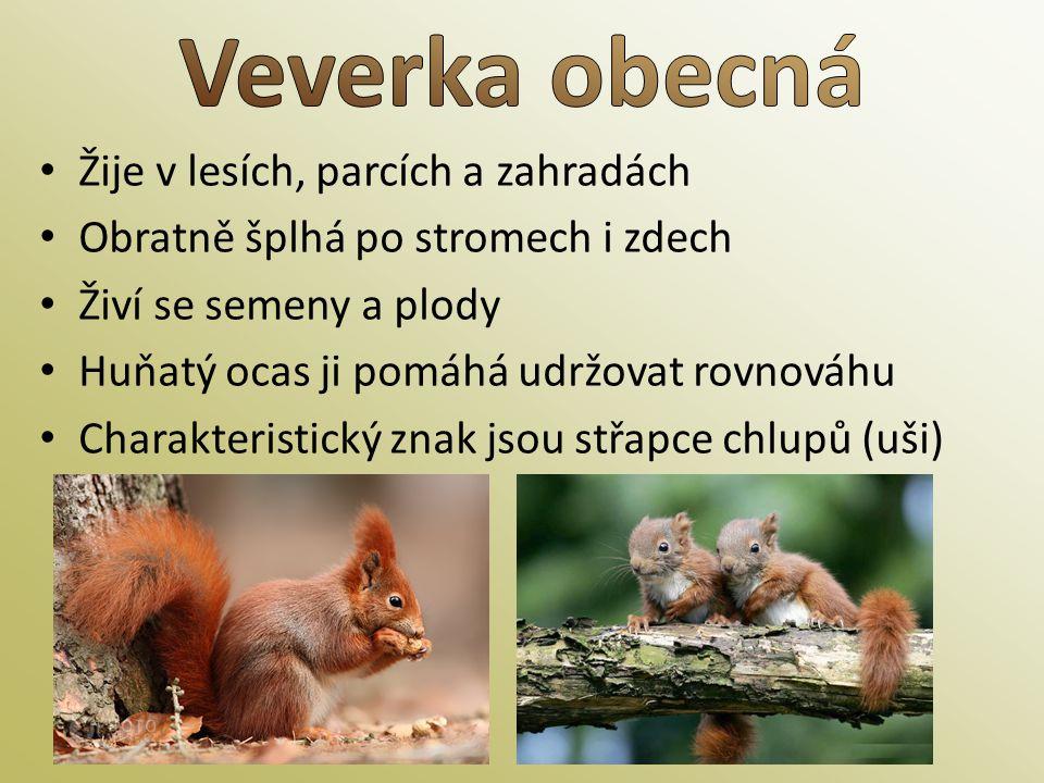 • Žije v lesích, parcích a zahradách • Obratně šplhá po stromech i zdech • Živí se semeny a plody • Huňatý ocas ji pomáhá udržovat rovnováhu • Charakt