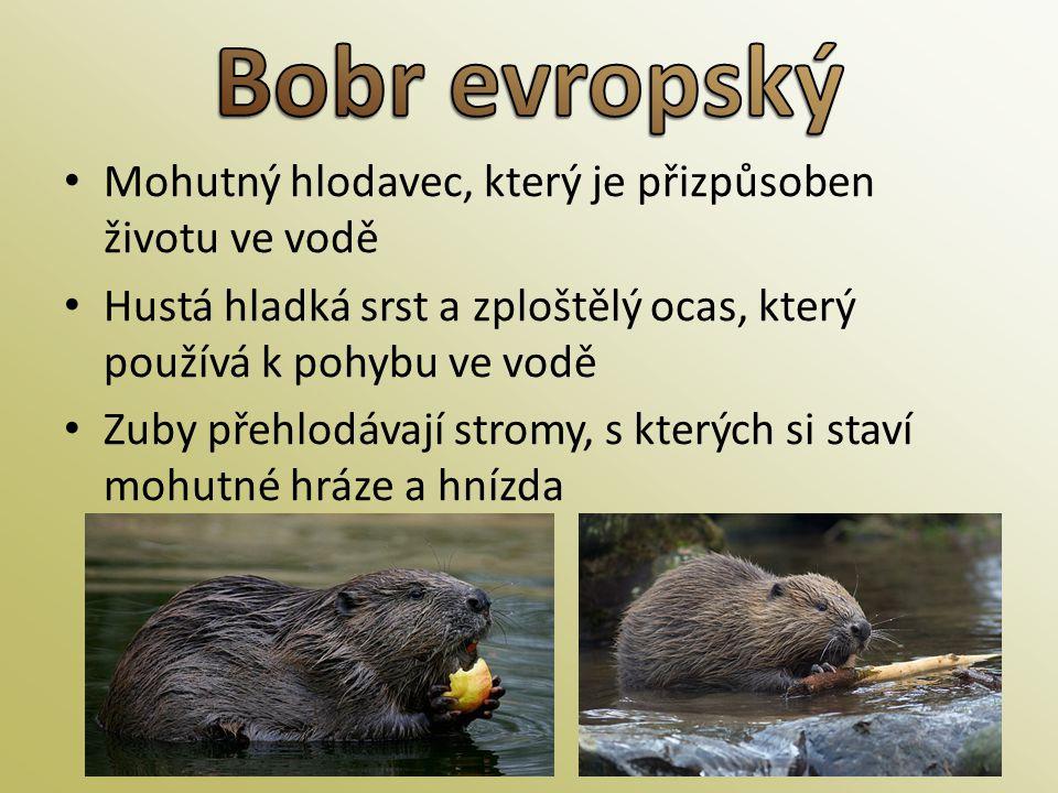• Mohutný hlodavec, který je přizpůsoben životu ve vodě • Hustá hladká srst a zploštělý ocas, který používá k pohybu ve vodě • Zuby přehlodávají strom