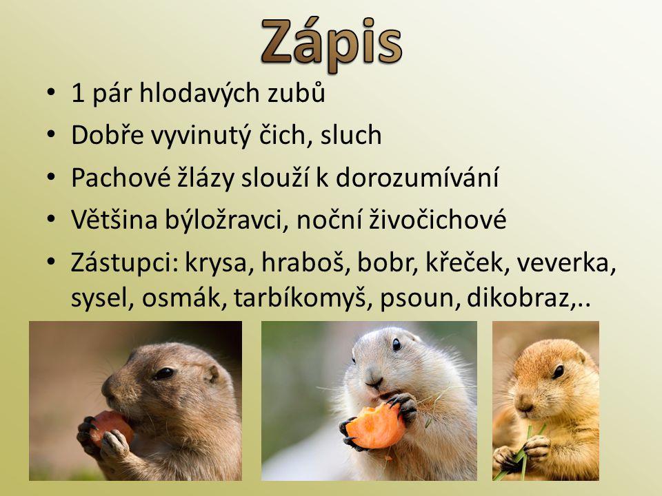 • 1 pár hlodavých zubů • Dobře vyvinutý čich, sluch • Pachové žlázy slouží k dorozumívání • Většina býložravci, noční živočichové • Zástupci: krysa, h