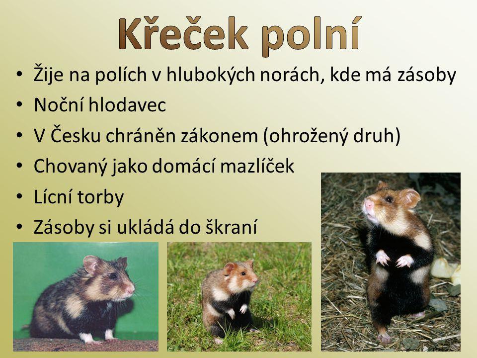 • Žije na polích v hlubokých norách, kde má zásoby • Noční hlodavec • V Česku chráněn zákonem (ohrožený druh) • Chovaný jako domácí mazlíček • Lícní t