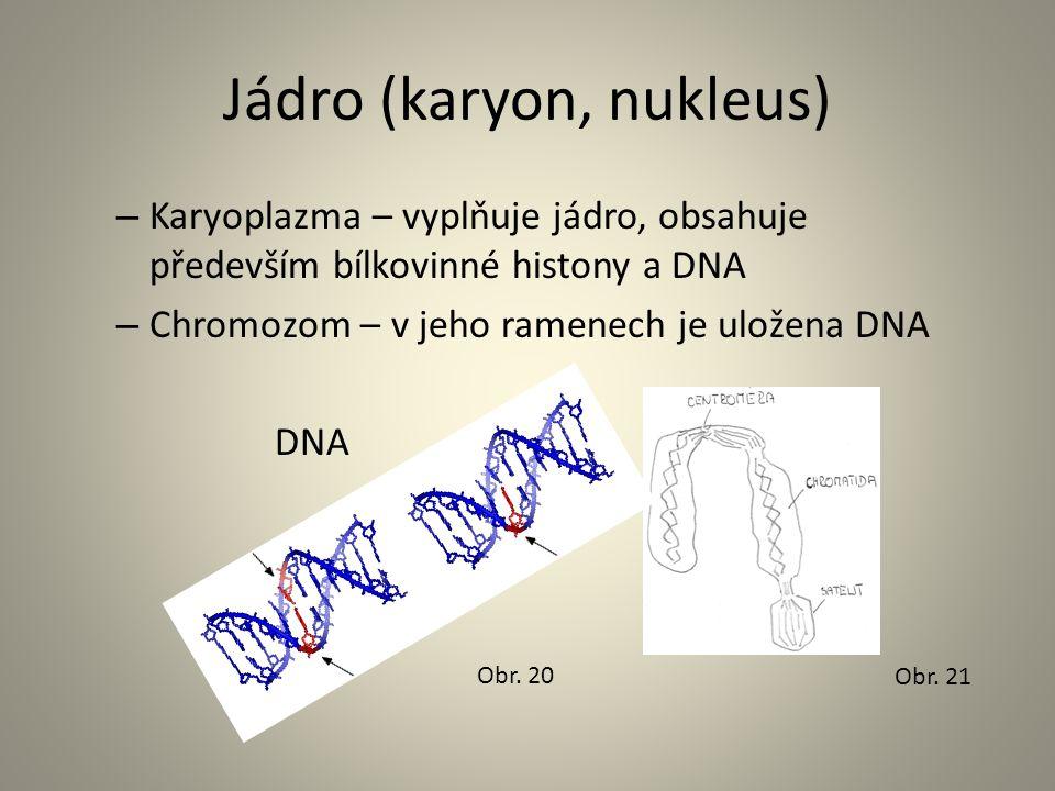Jádro (karyon, nukleus) – Karyoplazma – vyplňuje jádro, obsahuje především bílkovinné histony a DNA – Chromozom – v jeho ramenech je uložena DNA DNA O