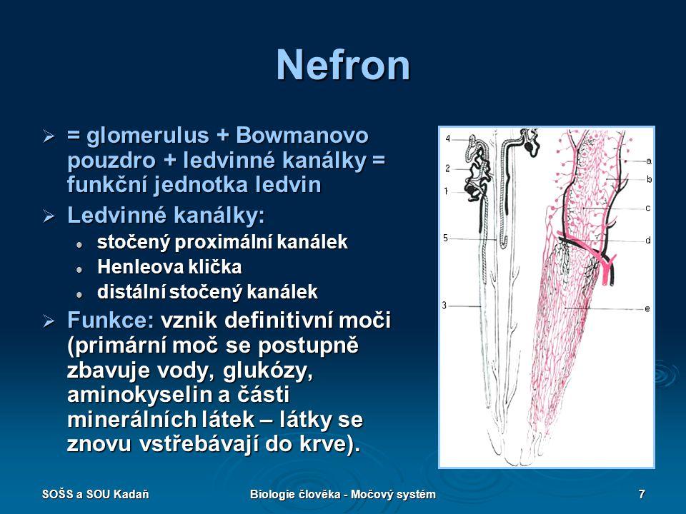 SOŠS a SOU KadaňBiologie člověka - Močový systém8 Vývodné močové cesty  Ledvinné kalichy – nálevkovitě rozšířené trubičky spojující se do oploštělých ledvinných pánviček, z nich vystupují tenké trubičky - močovody (spojují pánvičky s močovým měchýřem), trubice 30 cm dlouhé.