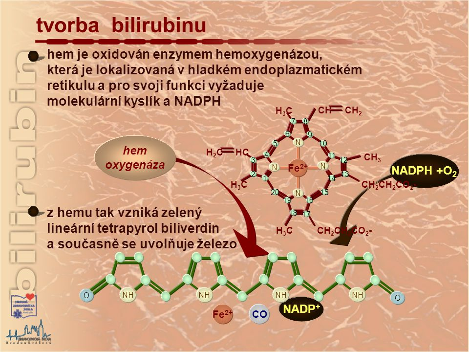 hem oxygenáza NADPH +O 2 hem je oxidován enzymem hemoxygenázou, která je lokalizovaná v hladkém endoplazmatickém retikulu a pro svoji funkci vyžaduje molekulární kyslík a NADPH tvorba bilirubinu H2CH2CHC H3CH3C H3CH3C CH 2 CH 2 CO 2 - CH 3 CH CH 2 H3CH3C 1 2 3 4 5 6 78 9 10 11 12 13 14 15 16 17 19 20 N N N N 18 Fe 2+ CO NADP + O NH O z hemu tak vzniká zelený lineární tetrapyrol biliverdin a současně se uvolňuje železo