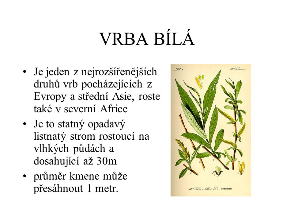 TOPOL ČERNÝ •Listnatý opadavý strom s čeledi vrbovitých dorůstá výšky až kolem 30m, dožívá se až několika staletí •Plody topolu jsou tobolky, které jsou tlusté, zašpičatělé, zelenavě hnědé, lysé, zřetelně stopkaté.
