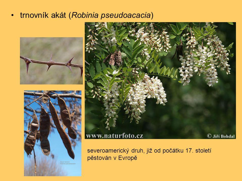 •trnovník akát (Robinia pseudoacacia) severoamerický druh, již od počátku 17. století pěstován v Evropě