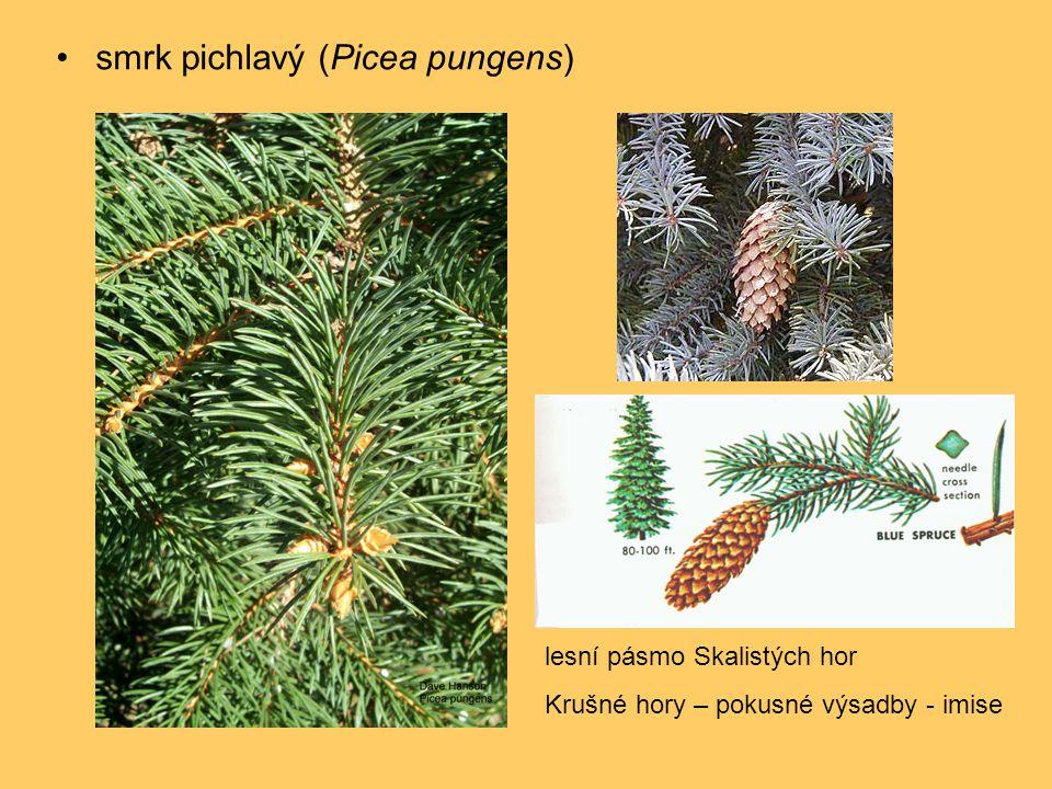 •smrk pichlavý (Picea pungens) lesní pásmo Skalistých hor Krušné hory – pokusné výsadby - imise