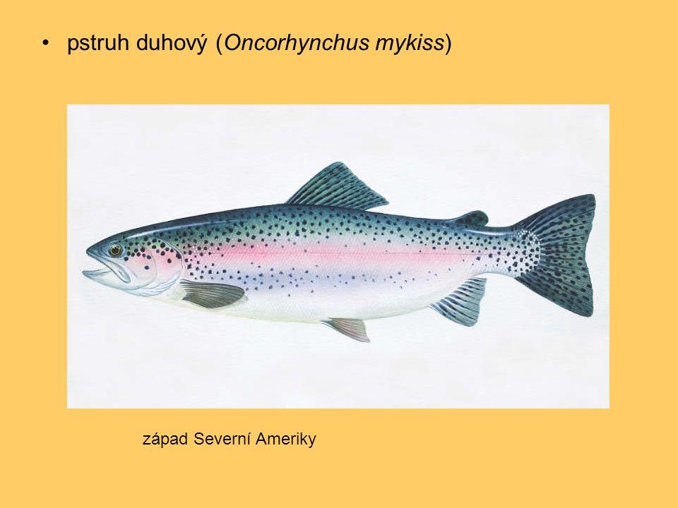 •pstruh duhový (Oncorhynchus mykiss) západ Severní Ameriky