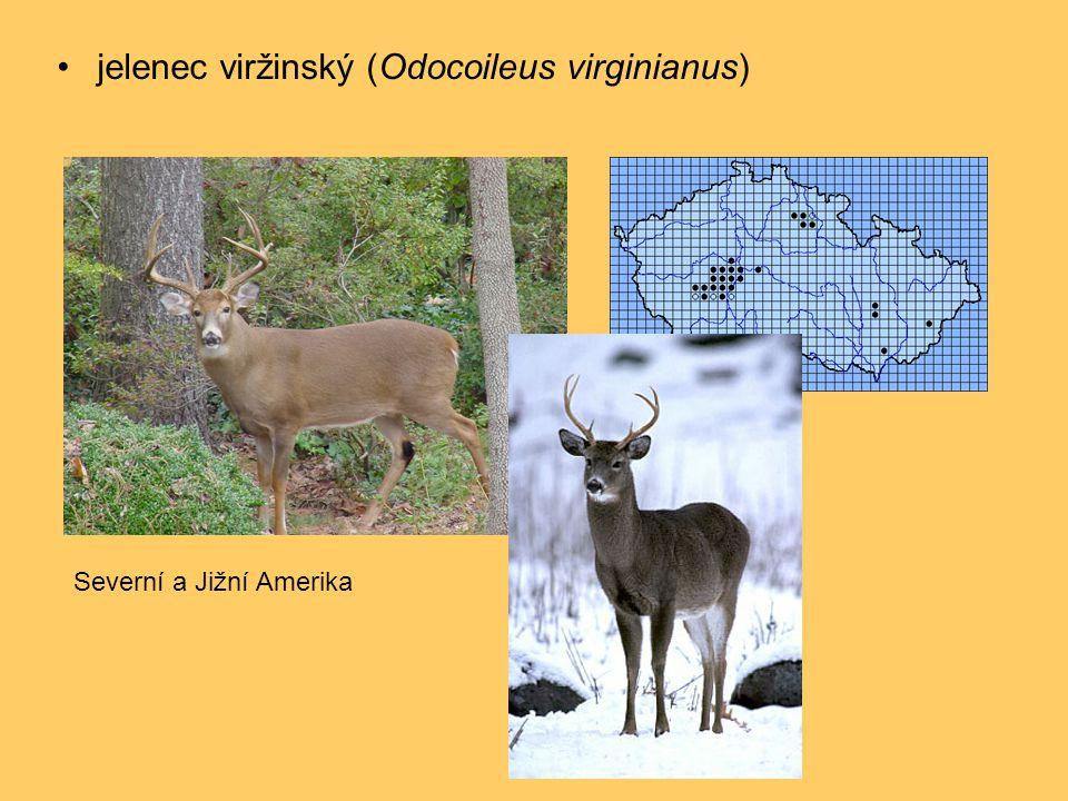 •jelenec viržinský (Odocoileus virginianus) Severní a Jižní Amerika
