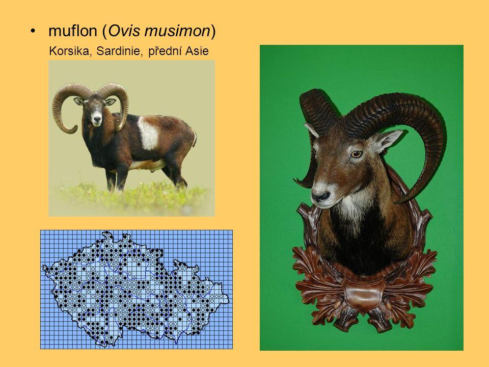 •muflon (Ovis musimon) Korsika, Sardinie, přední Asie