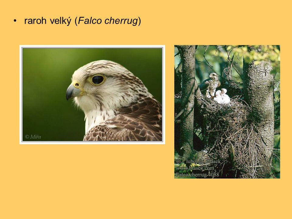 •raroh velký (Falco cherrug)