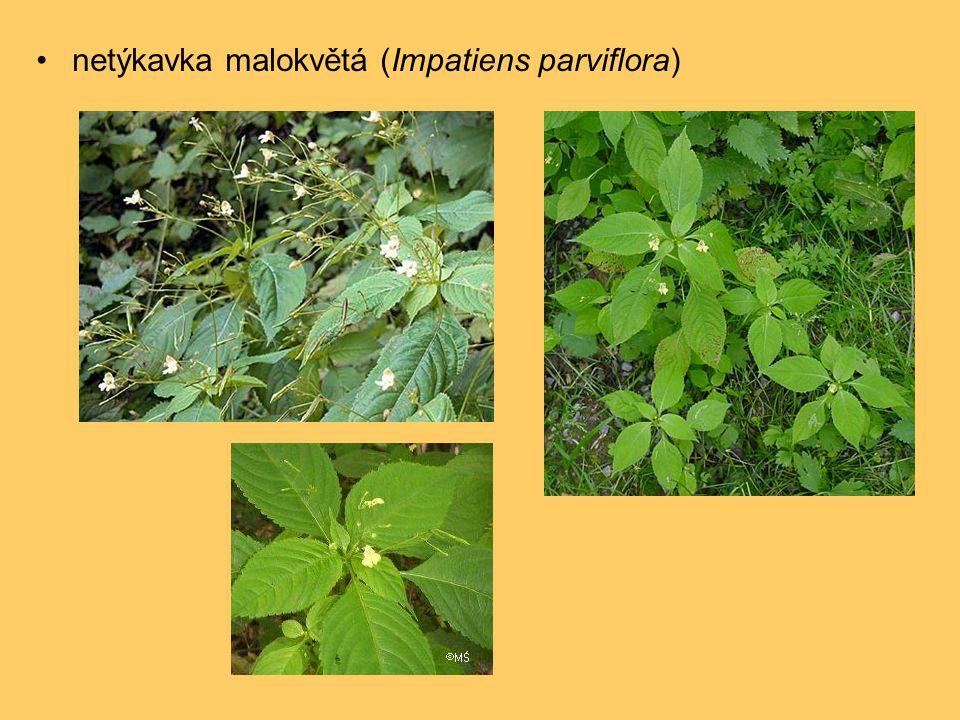 •netýkavka malokvětá (Impatiens parviflora)