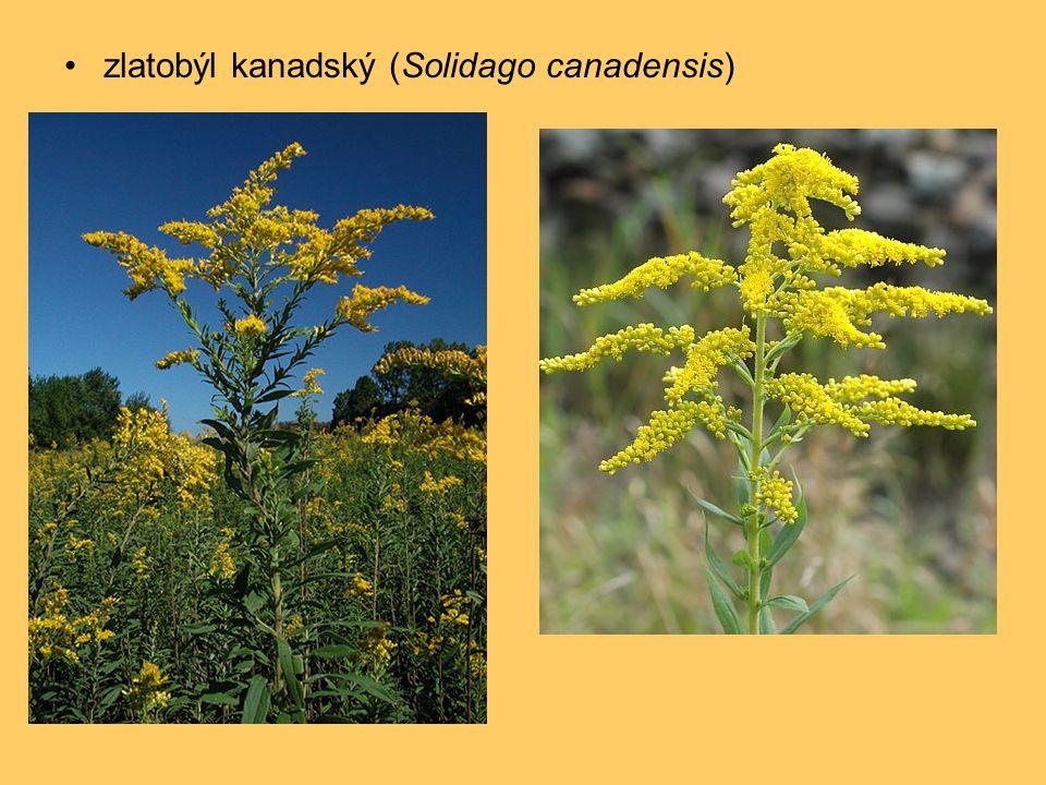 •zlatobýl kanadský (Solidago canadensis)