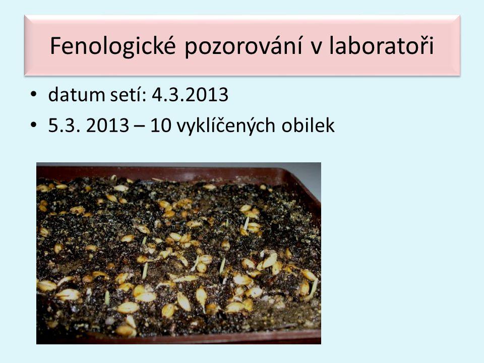 Fenologické pozorování v laboratoři • datum setí: 4.3.2013 • 5.3. 2013 – 10 vyklíčených obilek