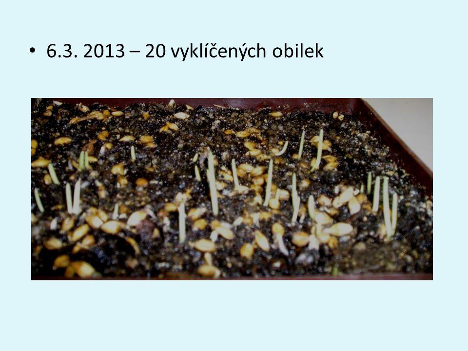 • 6.3. 2013 – 20 vyklíčených obilek