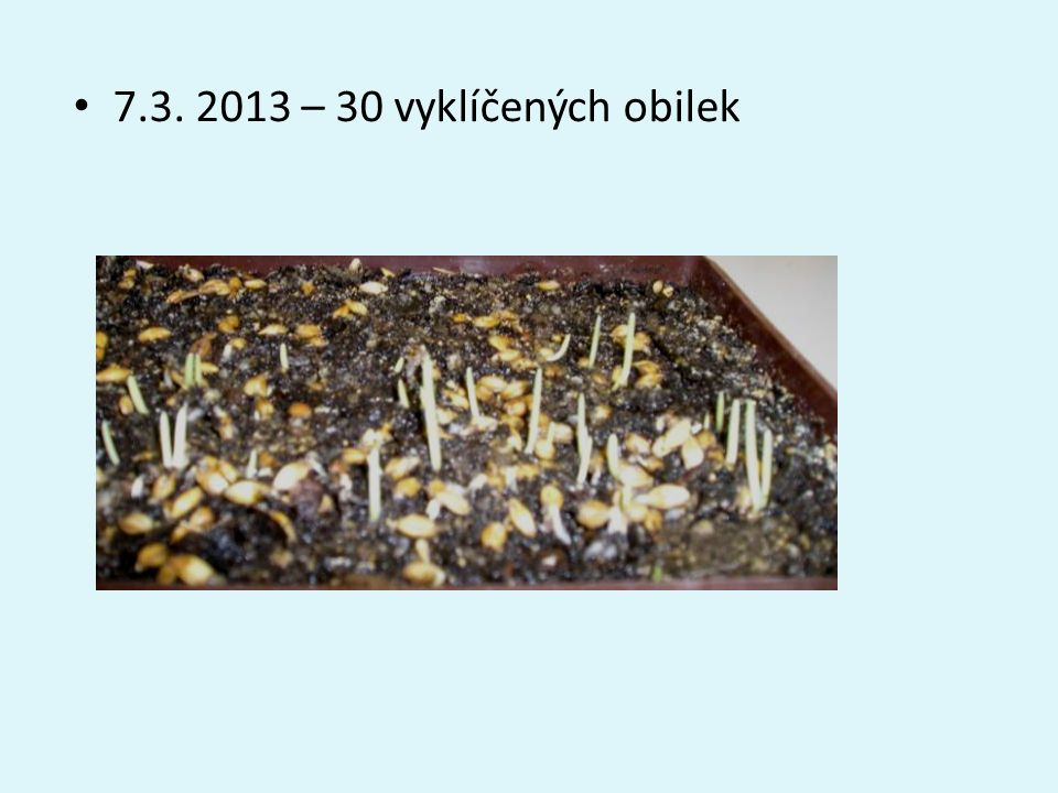 • 7.3. 2013 – 30 vyklíčených obilek