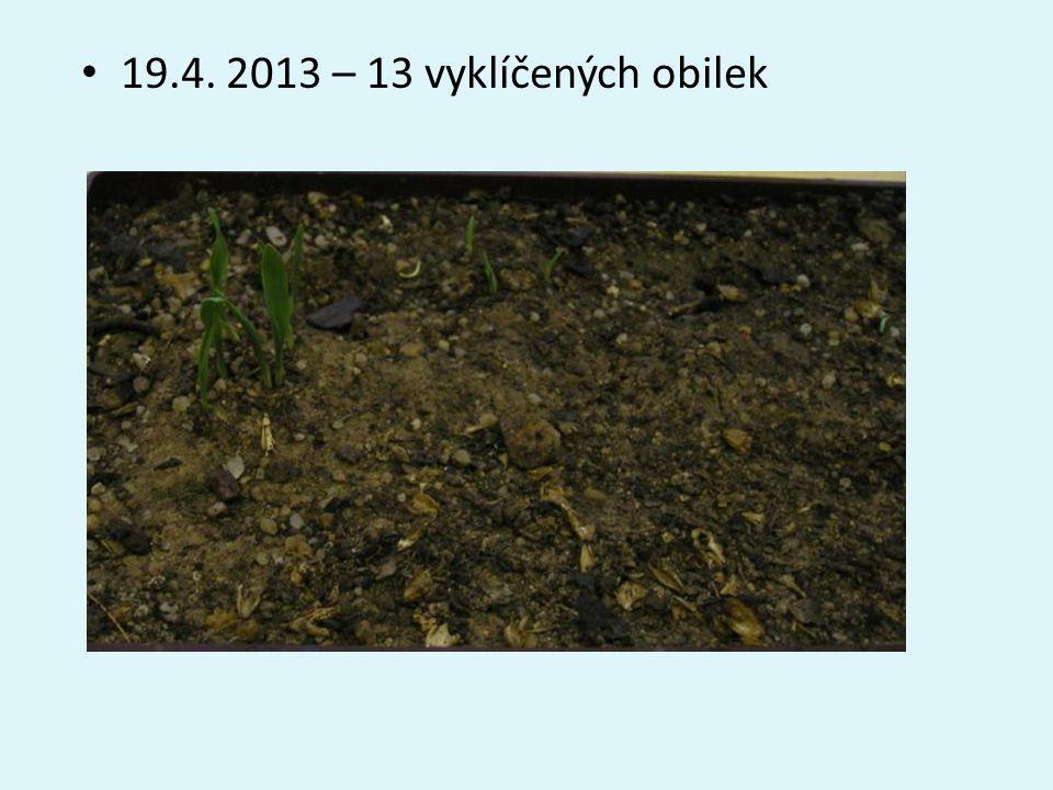 • 19.4. 2013 – 13 vyklíčených obilek