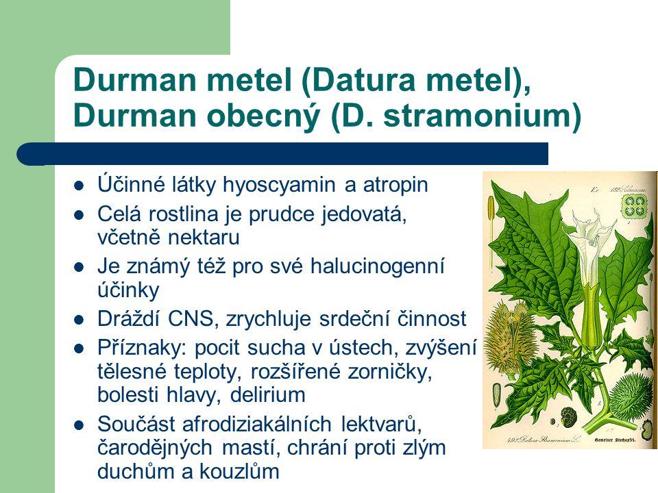 Durman metel (Datura metel), Durman obecný (D.