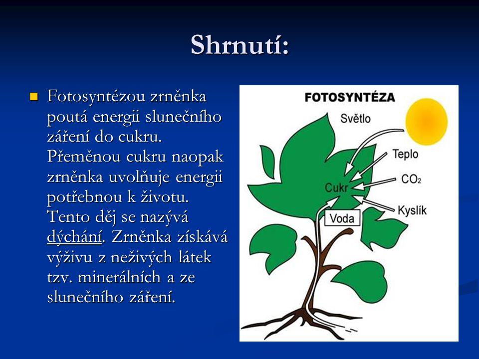 Shrnutí:  Fotosyntézou zrněnka poutá energii slunečního záření do cukru.