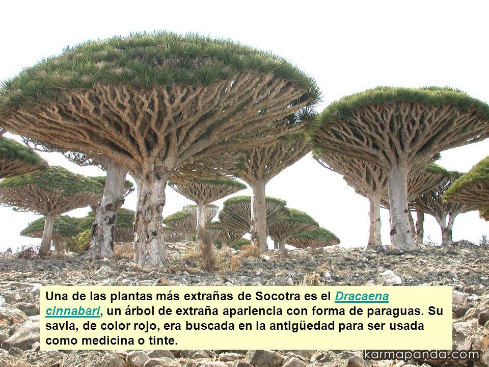 Una de las plantas más extrañas de Socotra es el Dracaena cinnabari, un árbol de extraña apariencia con forma de paraguas.