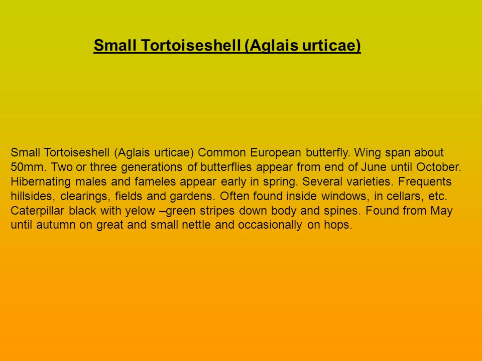 Small Tortoiseshell (Aglais urticae) Common European butterfly.
