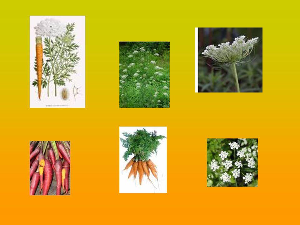 Robust,perennial,dioecious herb with a far-creeping rhizome.