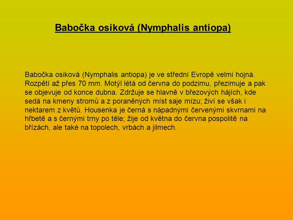 Babočka osiková (Nymphalis antiopa) je ve střední Evropě velmi hojná. Rozpětí až přes 70 mm. Motýl létá od června do podzimu, přezimuje a pak se objev