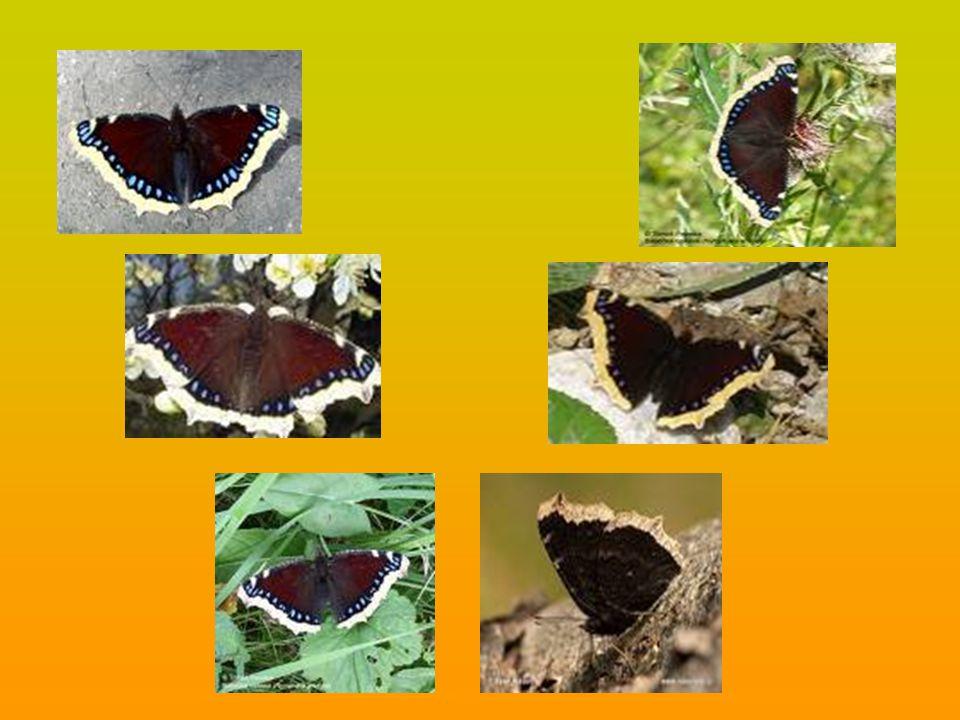 Otakárek fenyklový (papilio machaon) je hojně rozšířen po celé Evropě.