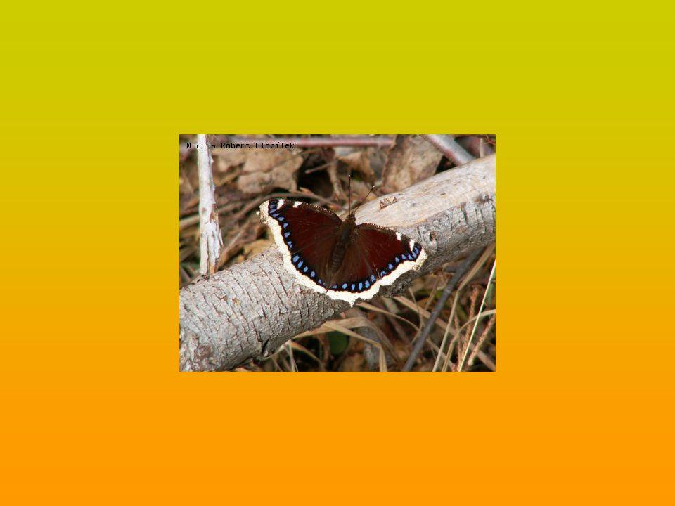 Babočka kopřivová (Aglais urticae) je v Evropě hojně rozšířená.