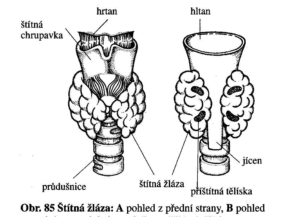 Štítná žláza a příštítná tělíska
