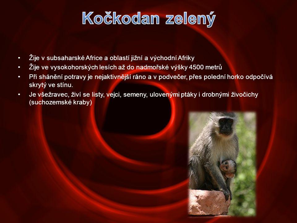 •Žije v subsaharské Africe a oblastí jižní a východní Afriky •Žije ve vysokohorských lesích až do nadmořské výšky 4500 metrů •Při shánění potravy je n