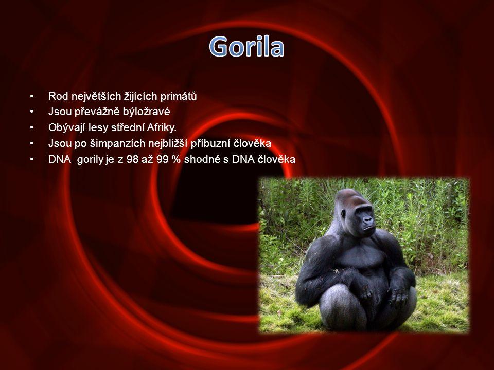 •Rod největších žijících primátů •Jsou převážně býložravé •Obývají lesy střední Afriky. •Jsou po šimpanzích nejbližší příbuzní člověka •DNA gorily je