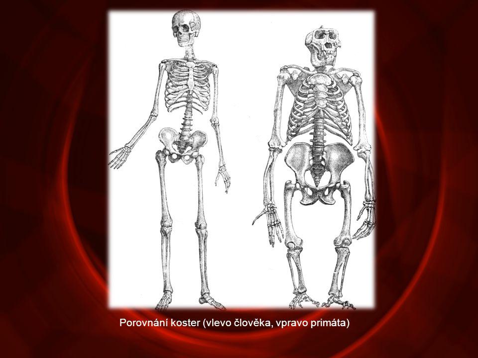 Porovnání koster (vlevo člověka, vpravo primáta)