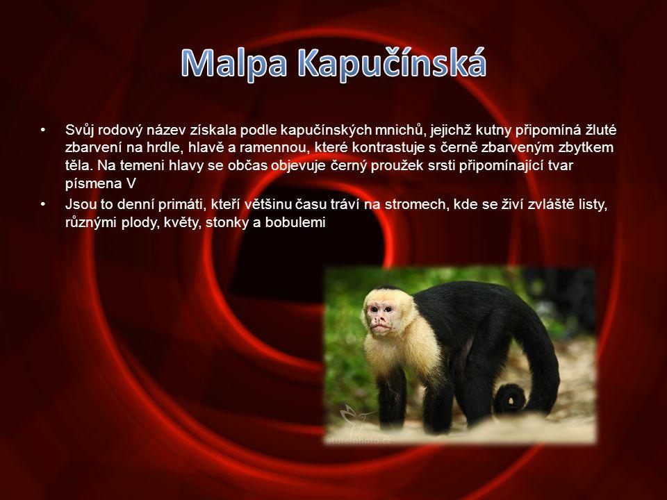 •Svůj rodový název získala podle kapučínských mnichů, jejichž kutny připomíná žluté zbarvení na hrdle, hlavě a ramennou, které kontrastuje s černě zba